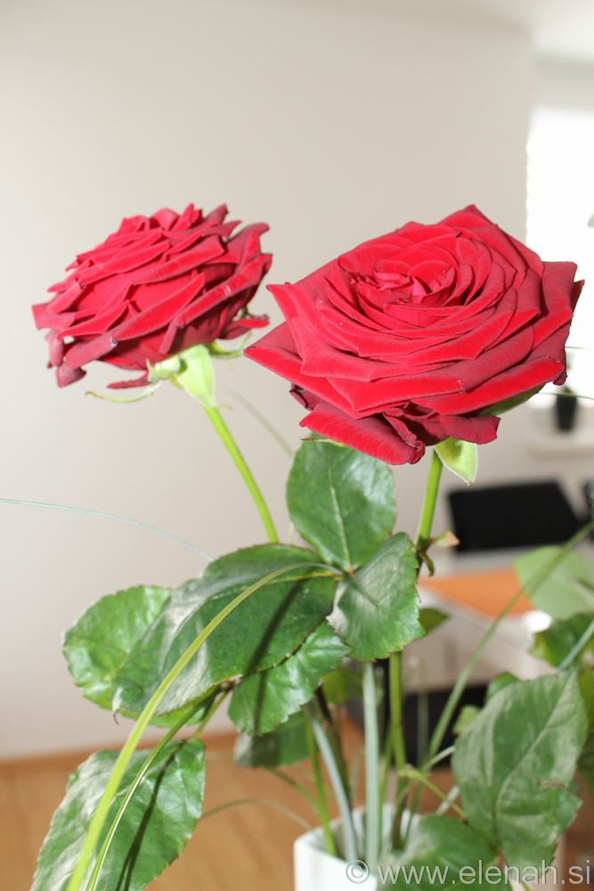Day 349 valentine roses